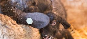 【羊の出産シーズン】命が誕生する現場にいるということ