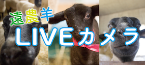 \遠農羊をリアルタイムで/羊舎にカメラが設置されました