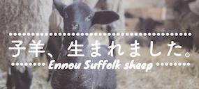 \元気に走り回る遠農サフォークの子羊たち/